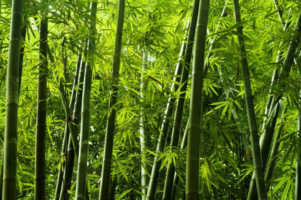 Bambus-Pjyirity